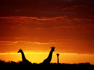 orange-giraffes-johns_1468_600x450